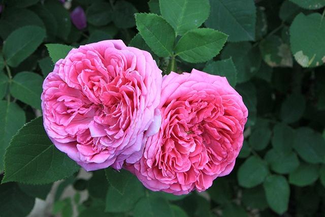 A damask rose