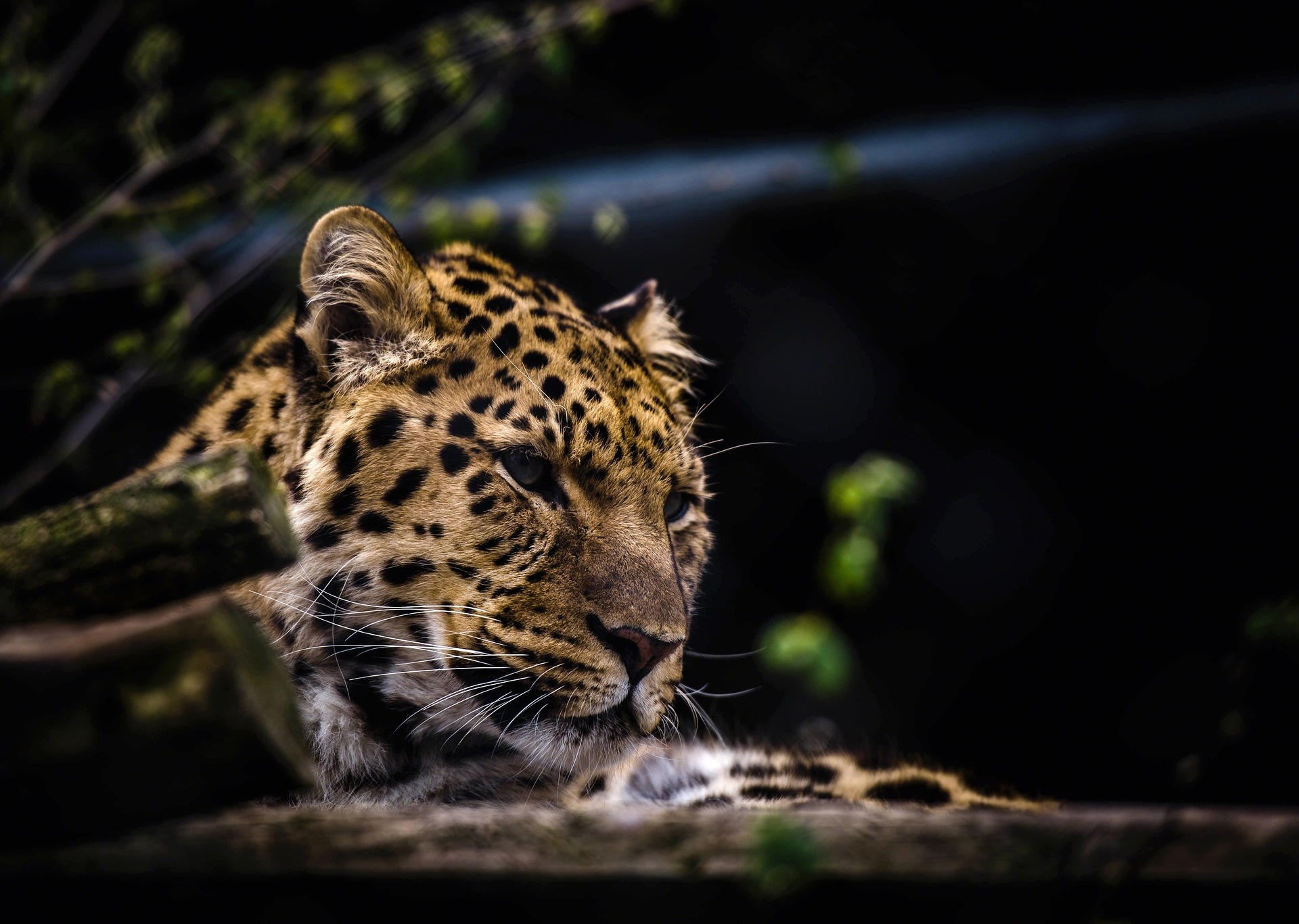 Leopards are endangered and are listed as a 'vulnerable' species