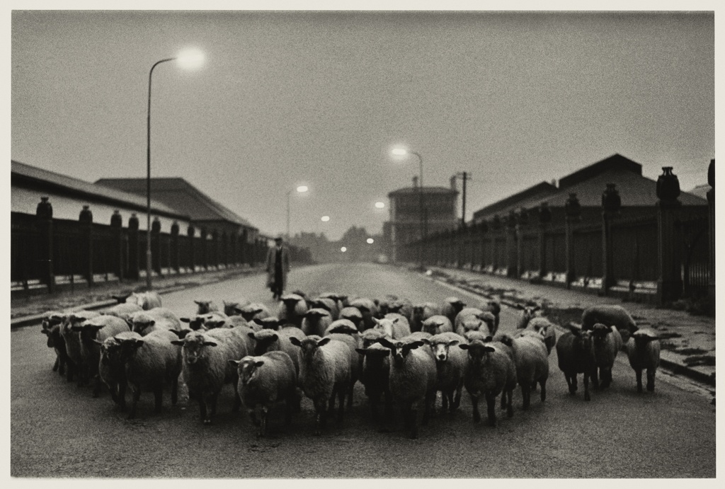 Sheep going to the slaughter house in the early morning near Caledonia Road, 1995